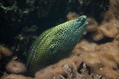 Laced moray Gymnothorax favagineus. Also known as the leopard moray Stock Photography