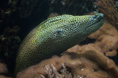Laced moray Gymnothorax favagineus. Also known as the leopard moray Royalty Free Stock Images