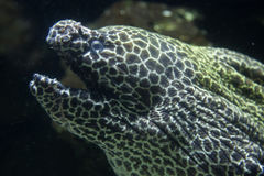 Laced moray & x28;Gymnothorax favagineus& x29;. Also known as the leopard moray Stock Photos