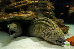 Laced moray. Ugly poison fish Laced moray (Gymnothorax favagineus Stock Photo