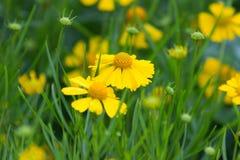 Laceleaf金鸡菊领域 库存图片