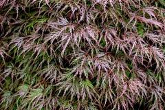 Laceleaf-Ahornbaum in Grünem und in Magentarotem Stockbilder