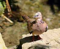 Laceneck Dove. (Streptopelia chinensis) also known as Spotted Dove; Necklace Dove; Pearl-necked Dove; Spotted-necked Dove; Chinese Turtle Dove; Spotted Turtle Stock Image