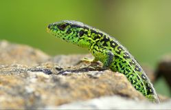 Lacerta agilis Royalty Free Stock Photography