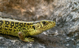 Lacerta agilis Royalty Free Stock Photo