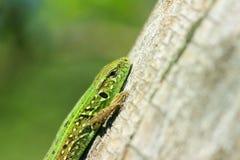 (Lacerta agilis) lizard Stock Photo