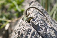 Lacerta agilis lub piasek jaszczurka na skale Zdjęcia Stock