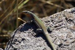 Lacerta agilis lub piasek jaszczurka sunbathing Zdjęcia Royalty Free