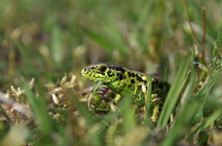 Lacerta agilis - sand lizard Royalty Free Stock Photos