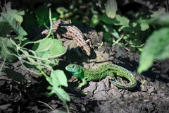 Lacerta agilis, Sand Lizard. Royalty Free Stock Photography