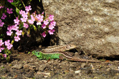 Lacerta agilis - Sand Lizard - mating season. Royalty Free Stock Photography