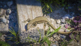 Lacerta agilis Royalty Free Stock Images