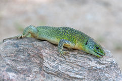 Lacerta bilineata Stock Photography