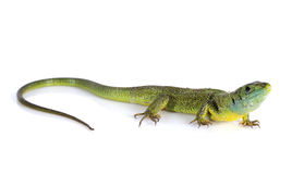 Lacerta Bilineata. In front of white background stock image