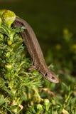 lacerta jaszczurki vivipara żyworodny zdjęcia royalty free