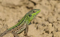 Lacerta ,  lizards Royalty Free Stock Images