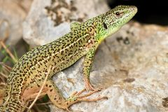 Lacerta trilineata Royalty Free Stock Photos