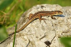 Lacerta Trilineata Young Individual Stock Photography