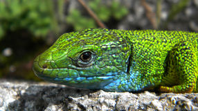 Lacerta viridis Stock Photography