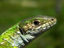 Lacerta viridis. Eastern European Green Lizard (Lacerta viridis), juvenile found in Southern Romania Royalty Free Stock Images