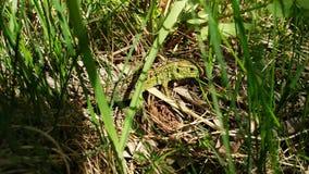 Lacerta viridis. royalty free stock photo