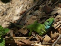 Lacerta viridis European green lizard. The European green lizard, Lacerta viridis, is a large lizard distributed across European midlatitudes from Slovenia and Stock Images