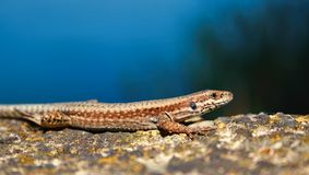Lacerta Viridis Lizard On a Rock Royalty Free Stock Photos