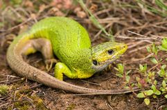 Lacerta viridis Stock Photos
