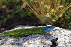 Lacerta viridis, male Stock Images