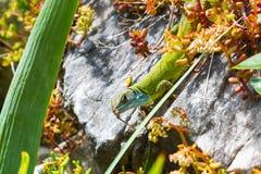 Lacerta viridis, zielona jaszczurka z błękit głową Obrazy Stock