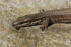 Lacerta vivipara, Viviparous lizard or Common lizard Royalty Free Stock Images
