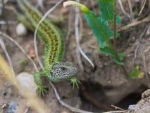 Lacertaagilis, ödla, art av ödlan från familjen av den lämpliga ödlasandödlan royaltyfria foton