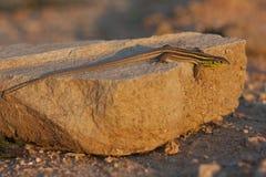 Lacertatrilineata, groene hagedis op een rots stock foto
