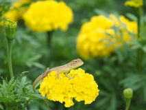 Lacertilia Ταϊλανδός Στοκ Εικόνες