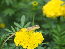 Lacertilia Ταϊλανδός Στοκ φωτογραφία με δικαίωμα ελεύθερης χρήσης