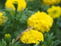 Lacertilia Ταϊλανδός Στοκ εικόνες με δικαίωμα ελεύθερης χρήσης