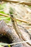 Lacertilia dans la nature Image libre de droits