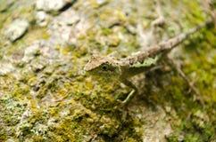 Lacertilia i naturen Arkivfoton