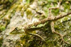 Lacertilia i naturen Royaltyfri Fotografi