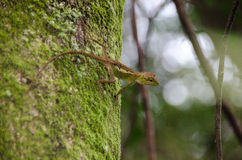 Lacertilia i naturen Royaltyfri Foto