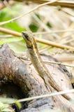 Lacertilia i naturen Royaltyfria Bilder