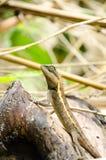 Lacertilia i naturen Fotografering för Bildbyråer