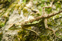 Lacertilia w naturze Fotografia Royalty Free