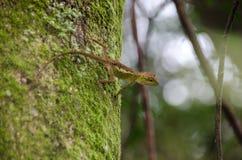 Lacertilia w naturze Zdjęcie Royalty Free