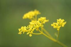 Lacet d'or Photo libre de droits