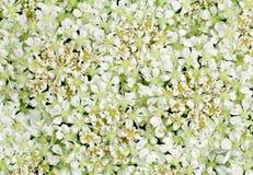 Lacet de la Reine Anne Photographie stock