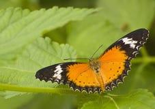lacewing πορτοκάλι buttterfly Στοκ Εικόνα