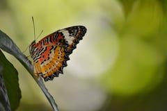Lacewingлеопарда Â, genusCethosiaÂ Стоковая Фотография