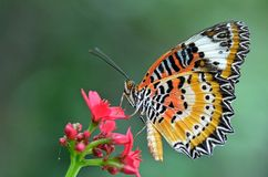 Lacewing леопарда Butterfly4 стоковая фотография rf