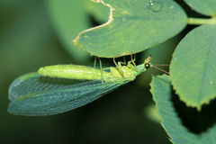 Lacewing Stock Photos